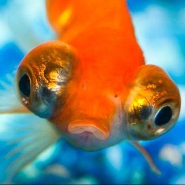 Dit gebeurt er als je goudvissen in het wild loslaat