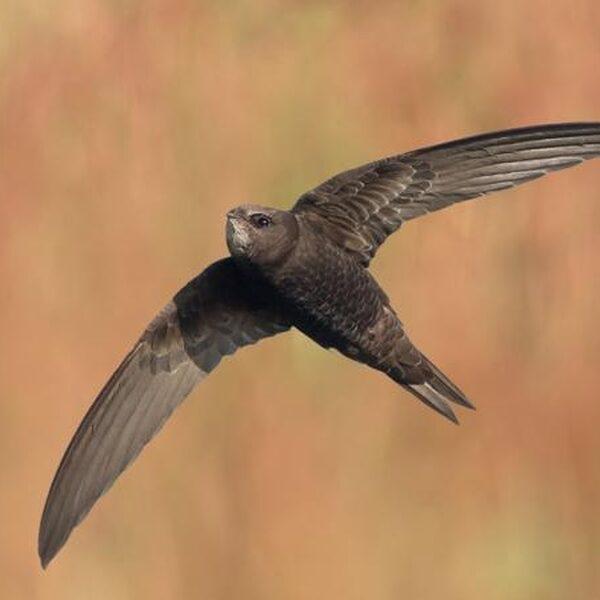 Gierzwaluw doet alles in de lucht: eten, seksen en slapen