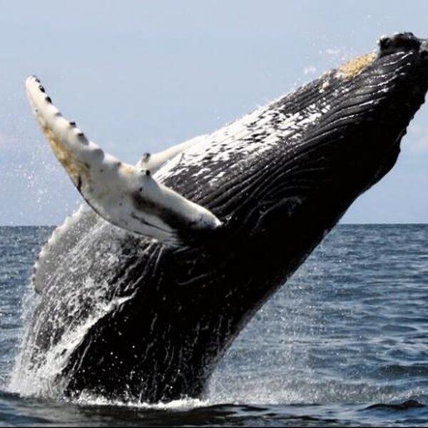 Vooral walvissen, dolfijnen en haaien sterven door toedoen van de mens