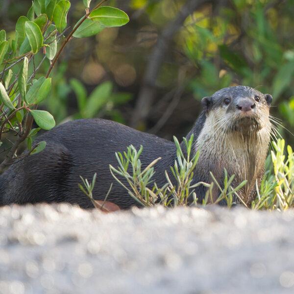 Hoe de otter weer terugkwam in Nederland