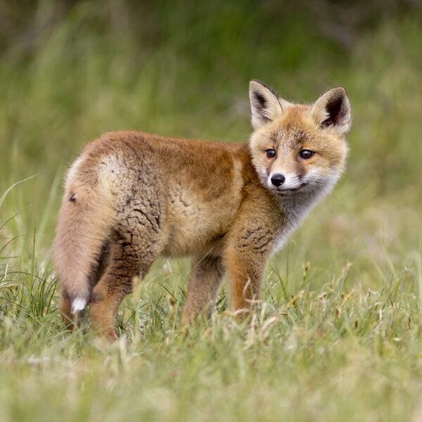 Wat is de plek van de vos in de Nederlandse natuur?