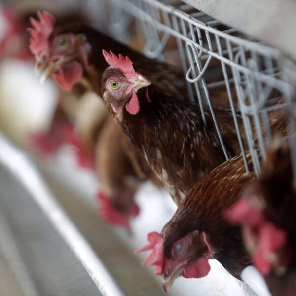 Dierenorganisaties willen wetgeving tegen hittestress bij veevervoer