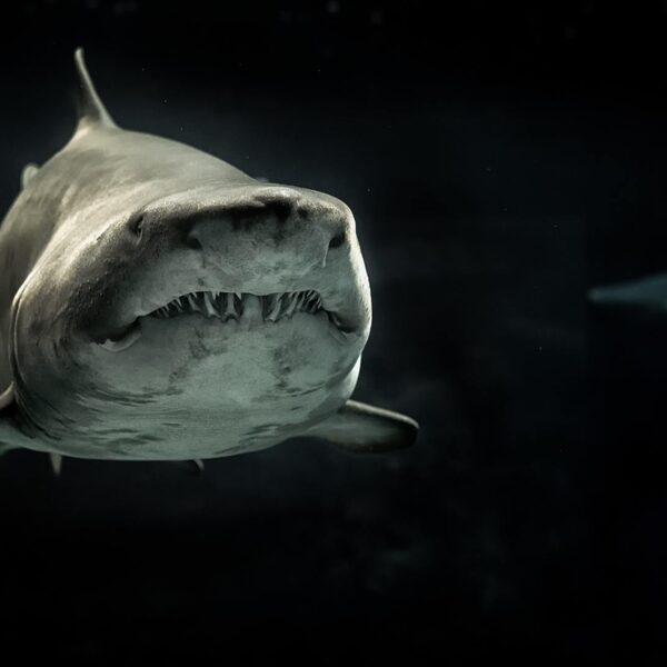Aantal haaien en roggen in oceanen met ruim 70% afgenomen