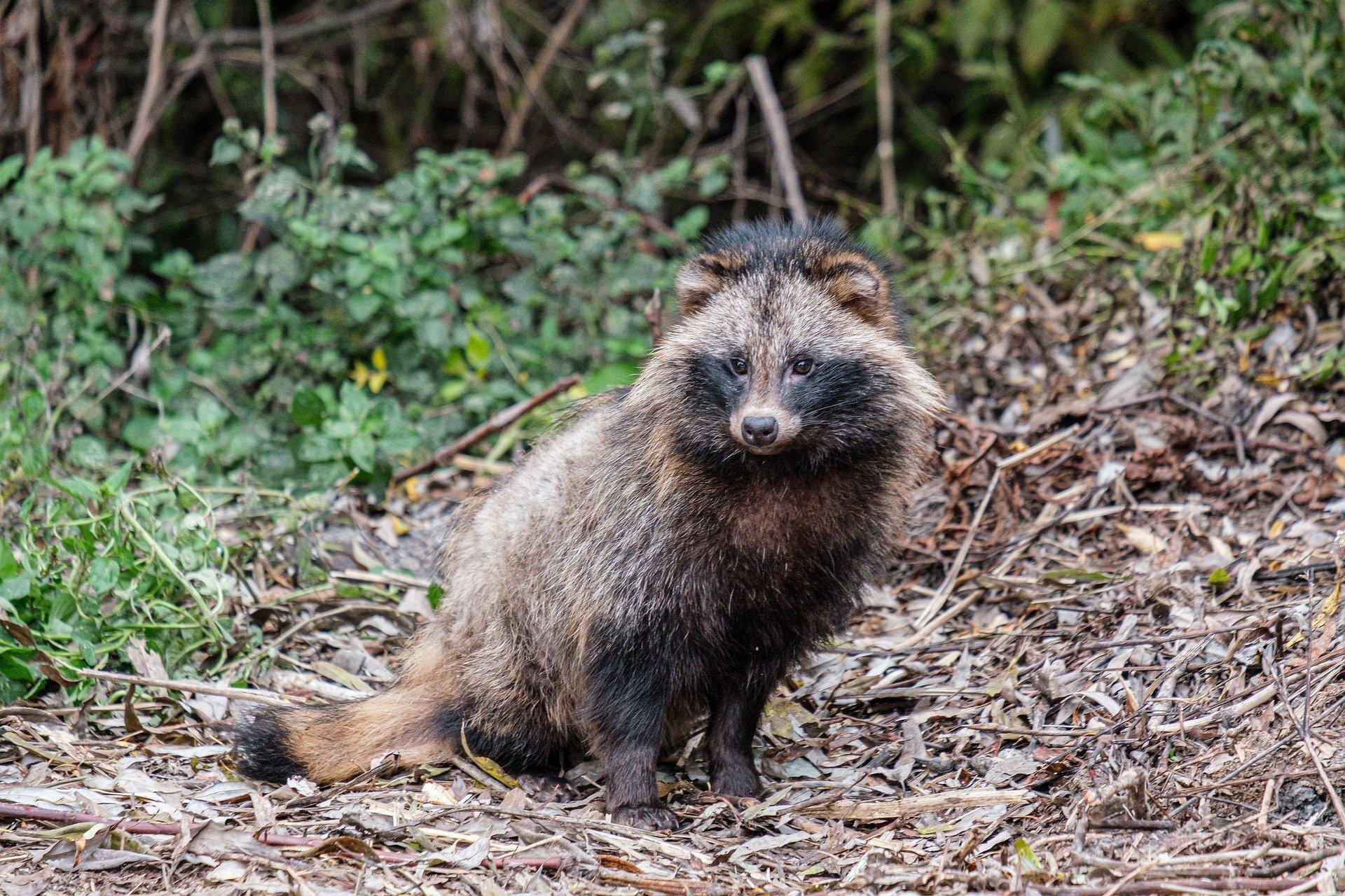 Raccoon dog 5791402 1920